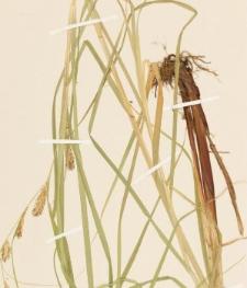 Carex atherodes Spreng.
