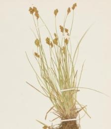 Carex bebbii Olney