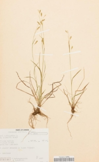 Carex capillaris L. var. elongata Olney