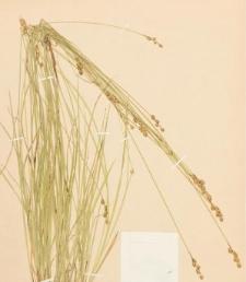 Carex cephalanta (L.H. Bailey) E.P. Bicknell