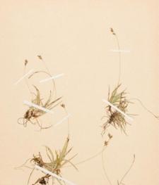 Carex concinna R. Br.