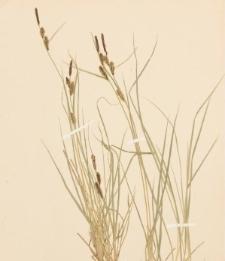 Carex fusca Bell. et All.