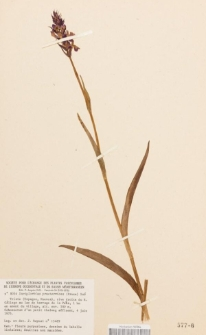 Dactylorhiza praetermissa (Druce) Soó
