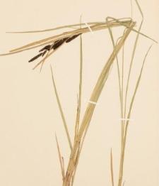 Carex gracilis