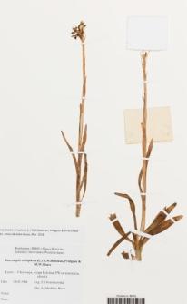Anacamptis coriophora (L.) R.M. Bateman, Pridgeon & M.W. Chase