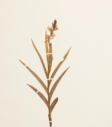 Cephalanthera longifolia (Huds.) Fritsch