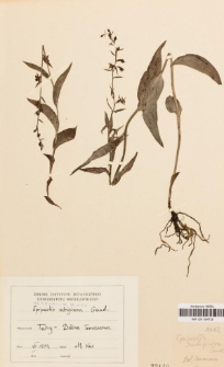 Epipactis rubiginosa Gaud.