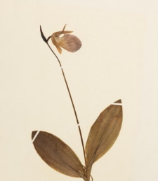 Cypripedium acaule Aiton