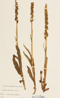 Habenaria hyperborea (L.) R.Br.