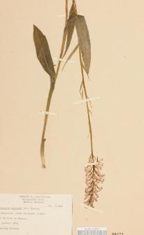 habenaria psycodes (L.) Spreng.