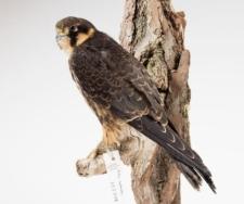 Falco subbuteo