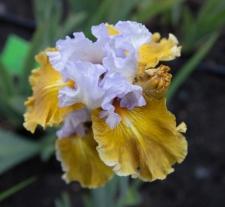 Iris 'Affaire'