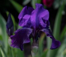 Iris 'After Dark'