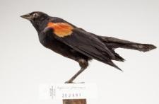 Agelaius phoeniceus