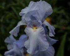 Iris 'Biscay Bay'