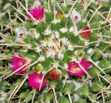 Mammillaria diacentra Jacobi