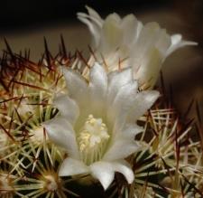 Mammillaria elongata DC. var. stella-aurata K. Schum.