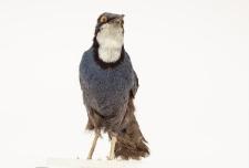 Ptilorrhoa caerulescens