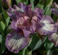 Iris 'Chantilly Dancer'
