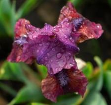 Iris 'Cherry Pop'