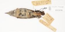 Oenanthe chrysopygia