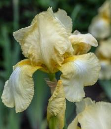 Iris 'Desert Song'