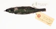 Aplonis panayensis