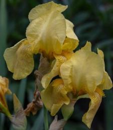 Iris 'Golden Bow'