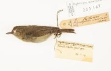Phylloscopus canariensis