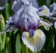 Iris 'Irish Moss'