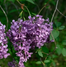 Syringa x chinensis Willd.