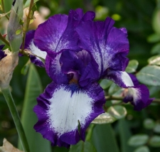 Iris 'Stepping Out'