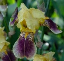 Iris 'Władysław'