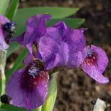 Iris 'Yo-Yo'