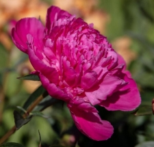 Paeonia lactiflora 'Edulis Superba'