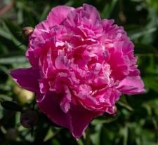 Paeonia lactiflora 'Meigetsuko'