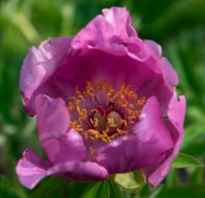 Paeonia officinalis L. subsp. villosa (Huth) Cullen et Heywood