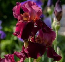 Iris 'Jewel Tone'
