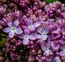 Syringa vulgaris 'Ambassadeur'