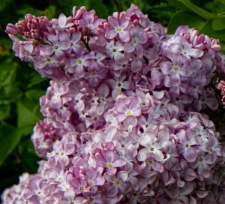 Syringa vulgaris 'Maurice Barres'