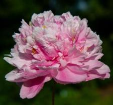 Paeonia lactiflora 'Alexander Fleming'