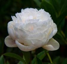 Paeonia lactiflora 'Coral Queen'