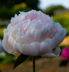 Paeonia lactiflora 'Cornelia Shaylor'