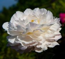 Paeonia lactiflora 'Gene Wild'