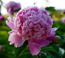 Paeonia lactiflora 'Lady Anna'