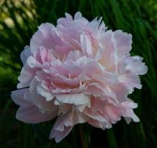 Paeonia lactiflora 'Lottie Dawson Rea'