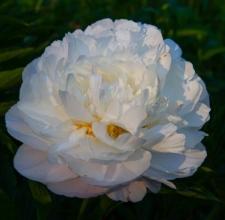 Paeonia lactiflora 'Nanette'