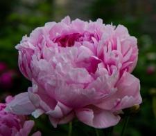 Paeonia lactiflora 'Ursynów'