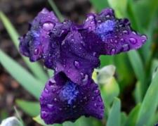 Iris 'Michael Paul'