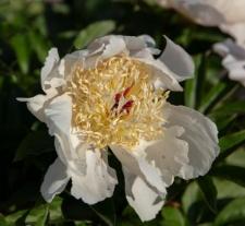 Paeonia lactiflora 'Lotus Queen'